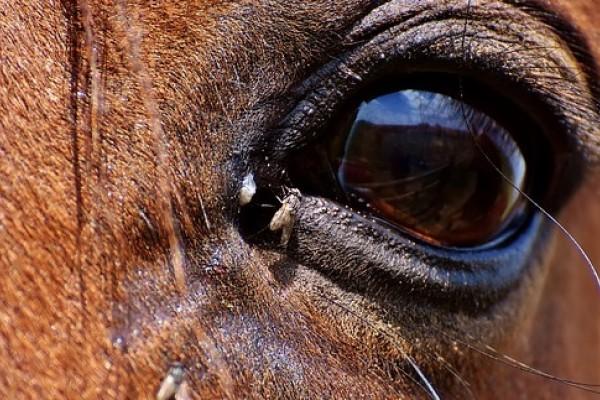 Equitazione: consigli per un efficace controllo delle mosche delle stalle